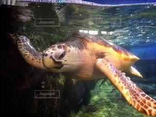 水の下で泳ぐカメの写真・画像素材[3355476]