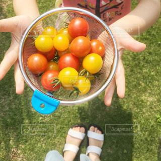 夏の楽しみ!ミニトマト収穫。の写真・画像素材[519131]