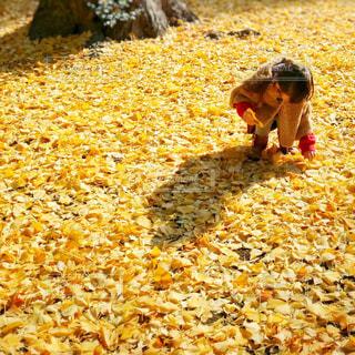 イチョウの葉を拾う小さな女の子 - No.862283