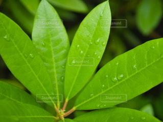 自然,雨,緑,水,葉っぱ,水滴,水面,葉,梅雨,草木,雨の日