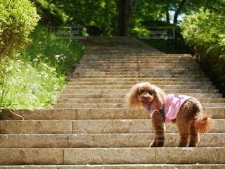 犬,公園,屋外,階段,葉っぱ,散歩,茶色,樹木,道,新緑,トイプードル,トイプー,野外,お散歩,おでかけ