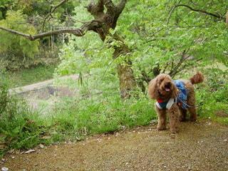 犬,公園,動物,木,屋外,草原,散歩,草,樹木,広場,ハイキング,お散歩,散歩中,おでかけ,草木,散策