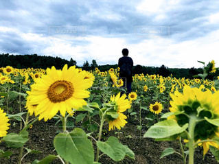 空,花,屋外,ひまわり,後ろ姿,黄色,景色,草,人,草木,日中