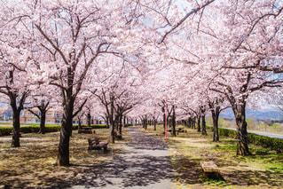 公園,花,春,屋外,ピンク,草,樹木,並木道,無人,一本道,草木,桜の花,さくら,ブロッサム