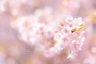 花,春,ピンク,サクラ,満開,ぼかし,クローズアップ,草木,花弁,桜の花,さくら,ブロッサム