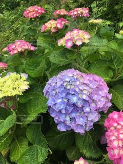雨,屋外,紫陽花,梅雨,天気,雨の日,アジサイ