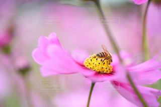 花,屋外,コスモス,ハチ