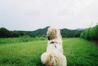 犬,空,かわいい,ペット,シーズー