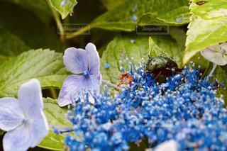 雨,屋外,紫,紫陽花,昆虫,グリーン,草木,雨の日,アジサイ