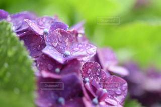 雨の日のアジサイの写真・画像素材[2230198]