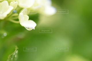 雨の日のアジサイの写真・画像素材[3337508]