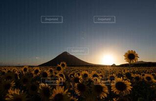 夕方の向日葵畑からのぞむ開聞岳の写真・画像素材[4696618]