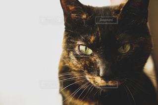 見つめるネコの写真・画像素材[2293738]