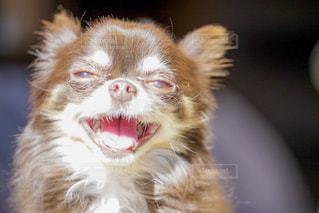 笑顔のチワワの写真・画像素材[2337289]