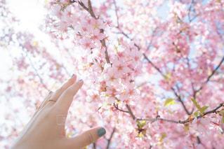 女性,1人,花,春,桜,ネイル,屋外,手,花見,光,樹木,人,桜の花,さくら,ブロッサム,くすみブルー