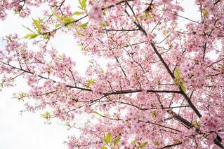 花,春,桜,ピンク,枝,花見,樹木,草木,桜の花,ブロッサム