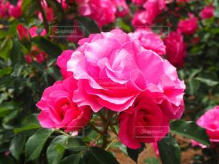 花,屋外,ピンク,花束,バラ,景色,花びら,鮮やか,草,薔薇,カラー,草木,フォトジェニック,ブルーム,インスタ映え,かなり,フローラ
