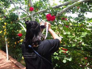 風景,花,屋外,ピンク,赤,花束,バラ,景色,花びら,鮮やか,薔薇,草木,ブルーム,花のある暮らし,インスタ映え,フローラ,後ろ姿フォト