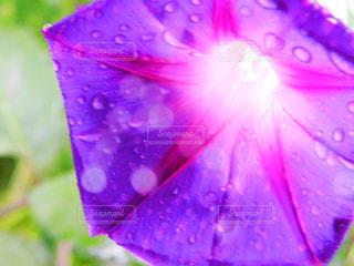 自然,公園,花,雨,植物,綺麗,水,紫,水滴,水玉,神秘的,雨上がり,雫,玉ボケ,雰囲気,マクロ撮影,近接撮影