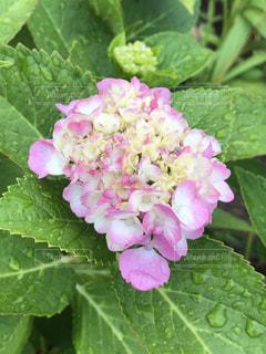 雨の日の紫陽花の写真・画像素材[2188545]