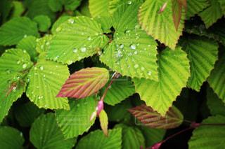 水滴乗せた葉の写真・画像素材[2127703]