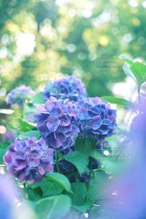 雨上がりの木漏れ日が眩しい紫陽花の写真・画像素材[2164751]