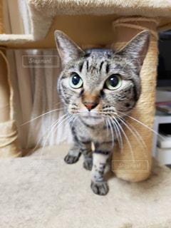 カメラを見ている猫の写真・画像素材[2506867]