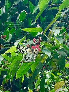 公園,緑,水滴,景色,新緑,蝶々,雨上がり,蝶,オオゴマダラ,インスタ映え
