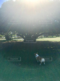 犬,公園,動物,木,屋外,緑,後ろ姿,新緑,コーギー,インスタ映え