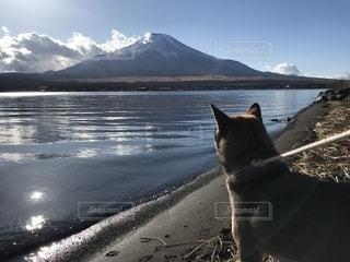 動物,富士山,屋外,後ろ姿,山,後姿,四国犬