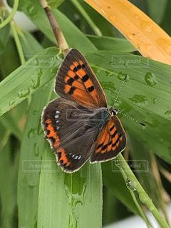 雨上がりの蝶々の写真・画像素材[2158395]