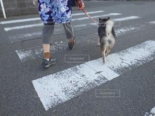 柴犬が3匹!?の写真・画像素材[2149146]