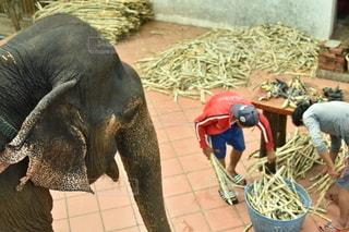 動物,後ろ姿,背中,人,象