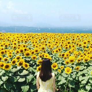 野原の黄色い花の写真・画像素材[2142156]