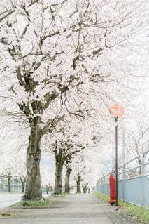 桜並木と消火栓の写真・画像素材[3064738]