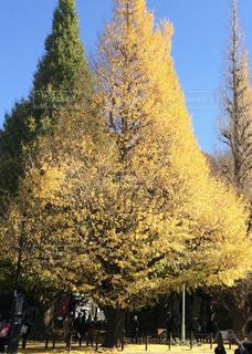 大きな紅葉の木の写真・画像素材[2514378]