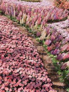 風景,花,ピンク,景色,草,デイジー,ルピナス