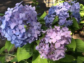 背景にハルダ・クラガー・ライラック・ガーデンのある花のクローズアップの写真・画像素材[3376109]