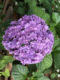 植物の紫色の花のクローズアップの写真・画像素材[3376111]