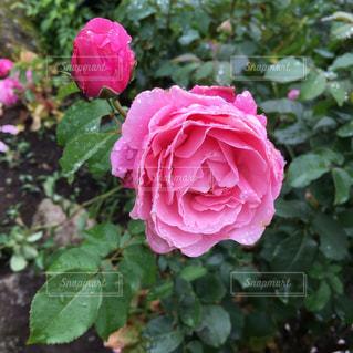 花,緑,葉っぱ,薔薇,蕾,雫,しずく