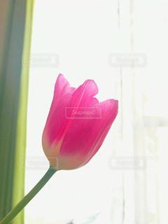 ピンクのチューリップの写真・画像素材[2136130]
