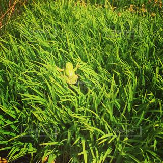 雨と苗とカエルの写真・画像素材[2170496]