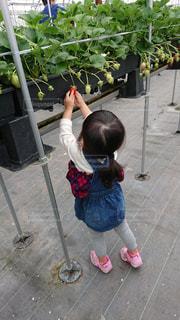 子ども,後ろ姿,いちご,背中,人,イチゴ,イチゴ狩,いちご狩