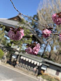 春,桜,お花見,日本,八重桜,japan