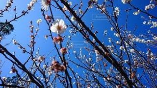 梅の花の写真・画像素材[3015496]