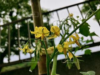 雨,水滴,曇り,暗い,黄色い花,梅雨,トマトの花