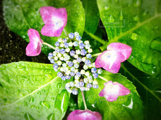 雨,ピンク,あじさい,紫,水滴,曇り,暗い,紫陽花,梅雨,アジサイ