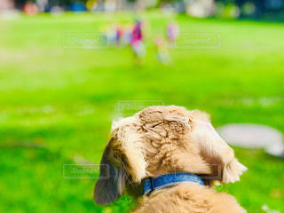 犬,公園,動物,芝生,後ろ姿,男の子,2歳