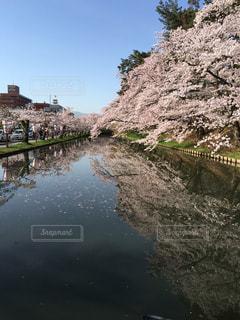 弘前城の桜の写真・画像素材[3037220]