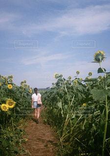 女性,空,花,ひまわり,後ろ姿,向日葵,背中,フィルム,ひまわり畑,フィルムカメラ,フィルム写真